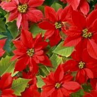 Комнатные цветы, цветущие зимой
