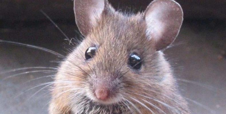 Народные средства от мышей и крыс
