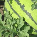 Чем полезен арбуз? Новые снадобья в домашних условиях