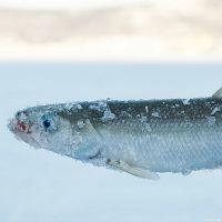 Рыба корюшка. Ловля корюшки зимой