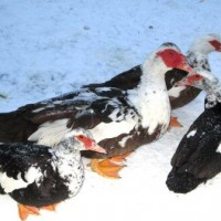 Содержание индоуток зимой