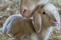 Сроки беременности у животных, таблица