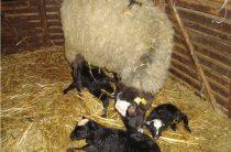 Овцы: окот