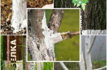 Как белить деревья?