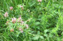 Сидераты — сравнительная таблица растений