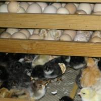Инкубатор для яиц своими руками