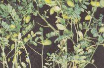 Сидераты для почвы — доступное органическое удобрение