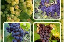 Выращиваем виноград-любимое лакомство