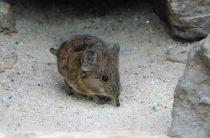 Похожая на мышь — животное землеройка