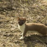 Животное ласка — охотник на мышей