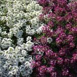 Цветы с приятным ароматом – неприхотливые цветы для дачи. Часть 3