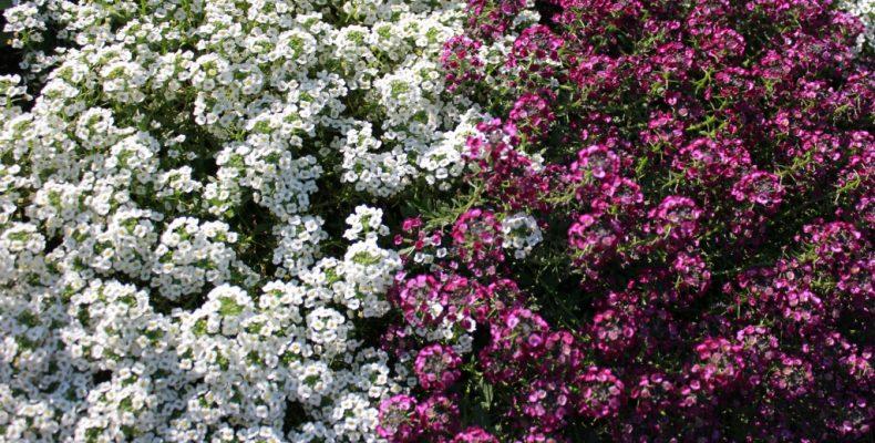 Цветы с приятным ароматом — неприхотливые цветы для дачи. Часть 3