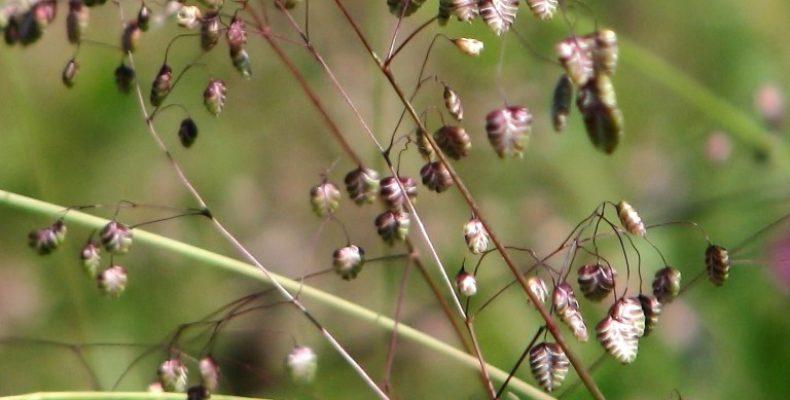 Декоративные злаки + сухоцветы = красивый неприхотливый цветник