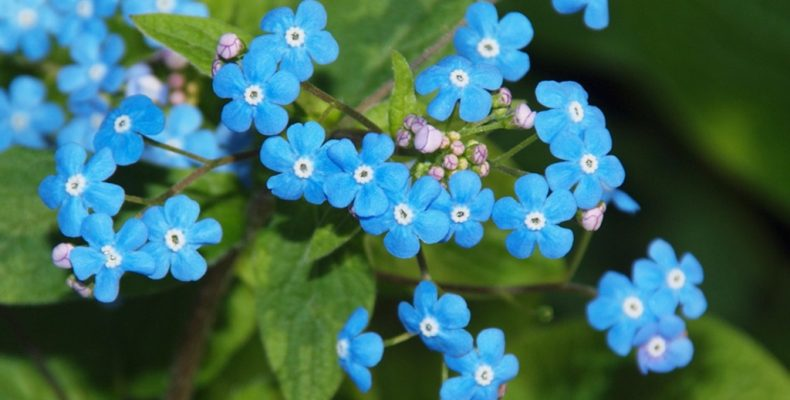 Бруннера: фото, описание, уход и выращивание