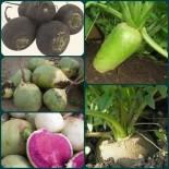 Редька-вкусный и полезный корнеплод