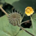 Канатник Теофраста — 6 фактов о растении
