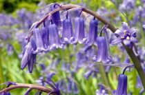 Гиацинтоидес: фото, описание, выращивание и уход