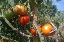 Подкормка овощей. Томаты и огурцы в открытом грунте