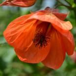 Цветок абутилон в домашних условиях  — 7 условий успешной зимовки