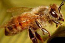 Звук пчелы — как прослушать пчел зимой
