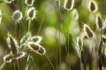 Декоративные злаки для сада — 5 неприхотливых растений