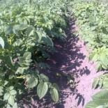 Уход за картофелем после посадки