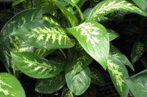 Почему желтеют и сохнут листья у диффенбахии? 5 секретов красивого листа