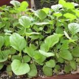 Как правильно вырастить рассаду баклажан — 7 самых распространенных ошибок