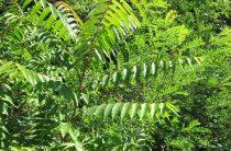 Дерево айлант: фото, интересные свойства