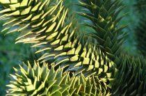 Араукария: фото, интересные факты