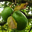 Авокадо: 11 интересных фактов об авокадо, фото