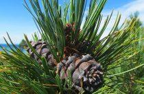 Кедр: интересные свойства растения, фото