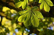 Дерево каштан: фото, интересные свойства