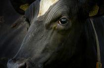 Стельность коровы: в каких случаях не наступает, 10 причин перегулов коров