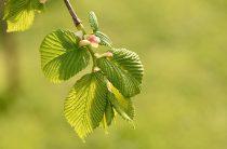 Дерево вяз: фото, интересные свойства
