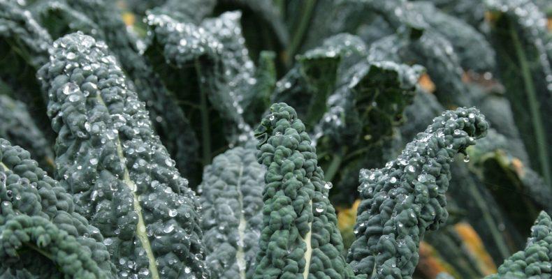 Капуста кейл: состав, ценность, 11 нюансов выращивания