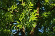 Дерево ясень: фото, интересные свойства