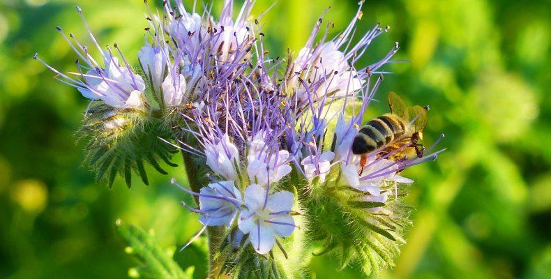 Фацелия — растение удивительное, 15 интересных фактов