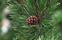 Дерево сосна: фото, интересные свойства растения