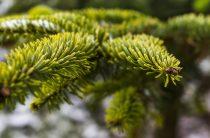 Ель — желанное дерево в саду, на даче