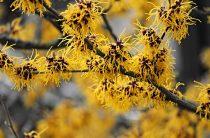 Гамамелис — кустарник удивительный: особенности, полезные свойства, фото